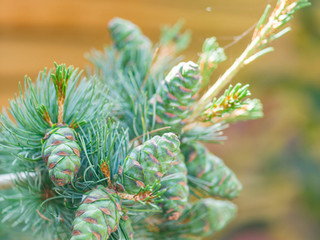 detailed photo of pine cones in front of a horizontal cedar wood fence