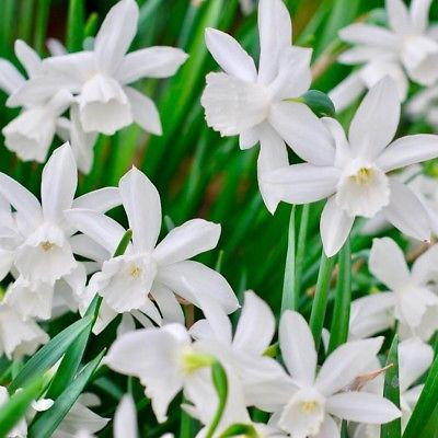 close up photo of white daffodils called narcissus thalia in a garden in cambrodge UK