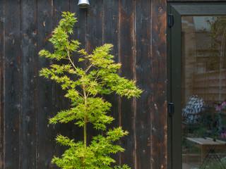 Acer palmatum against shou sugi ban cladding in a cambridge garden design