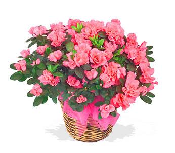 Azalea Plant in Basket