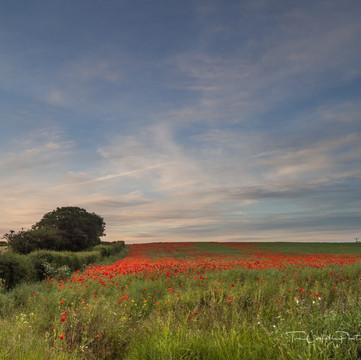 Poppyfield, Ellerdine P6050153.jpg