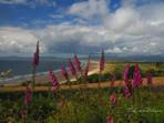 Foxgloves and the Beach (Harlech)