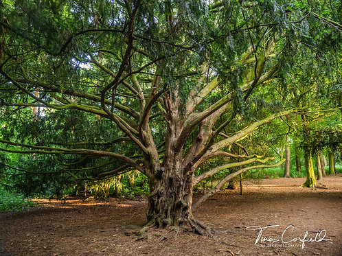 Fine Art Photography Print - The Twisted Yew Tree, Shropshire