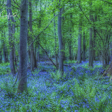 Bluebells and Fern Woodland 1