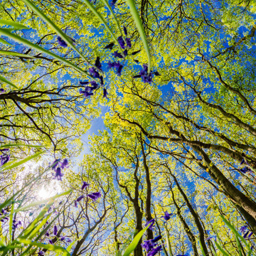 Bluebells Under The Canopy