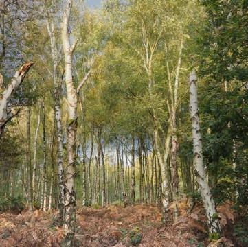 Haughmond Hill - Birch WoodlandPB020530-Edit104-1.jpg