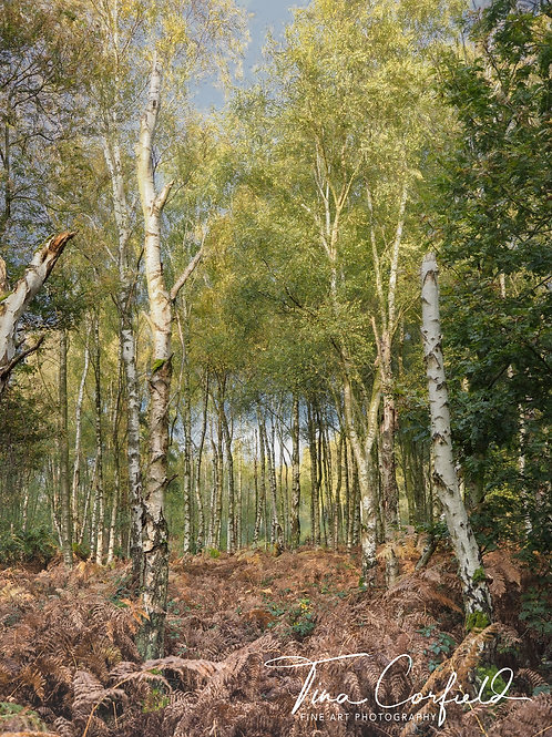 A4 Print - Haughmond Hill, Birch Woodland, Shropshire