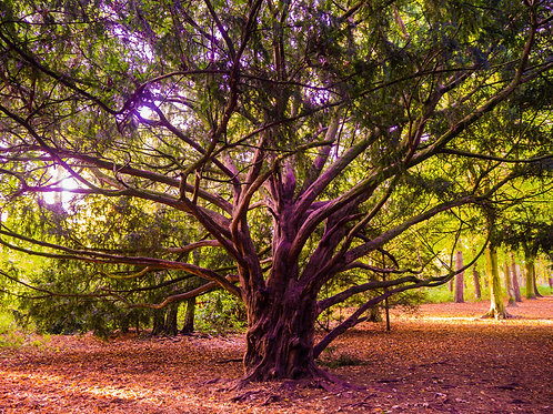 Fine Art Photography Print - The Twisted Tree, Autumn, Apley Woods, Telford