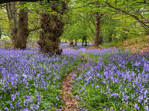 Fine Art Photography Print - Bluebell Walk, The Wrekin, Shropshire