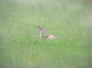 WI13 Resting Deer.JPG