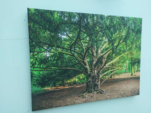 SOLD   Apley Woods 'Twisted Tree' Canvas