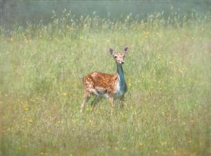 WI01 Meadow Deer.JPG