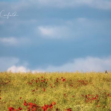 Poppyfield Flight
