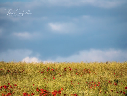 Poppyfield Flight
