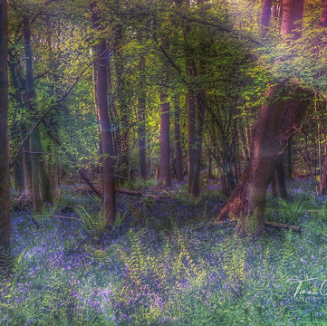 Bluebells and Fern Woodland 3