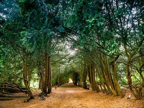 Fine Art Photography Print - Yew Tree Arch, Summer, Apley Woods, Telford