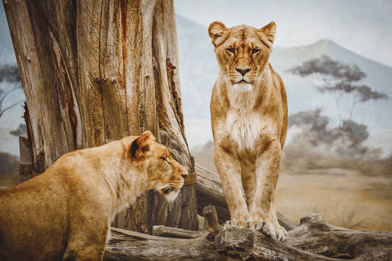 leeuwinnen