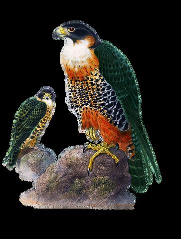 Piasa Bird draft uno 5.18.png