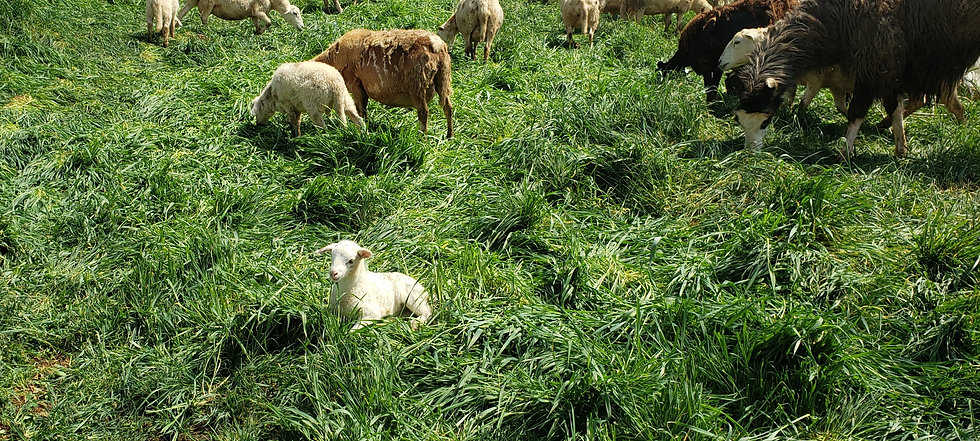 Lamb in grass with others.jpg