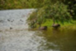 Swans on lake.jpg