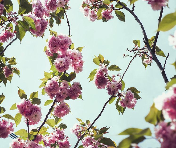 medium-close-up-of-cherry-blossoms-and-f