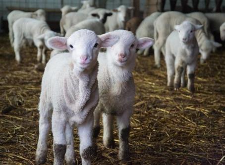 Des moutons et des chèvres à La Barben