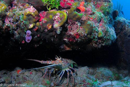 """""""Reef Lobster"""" Metal Prints"""
