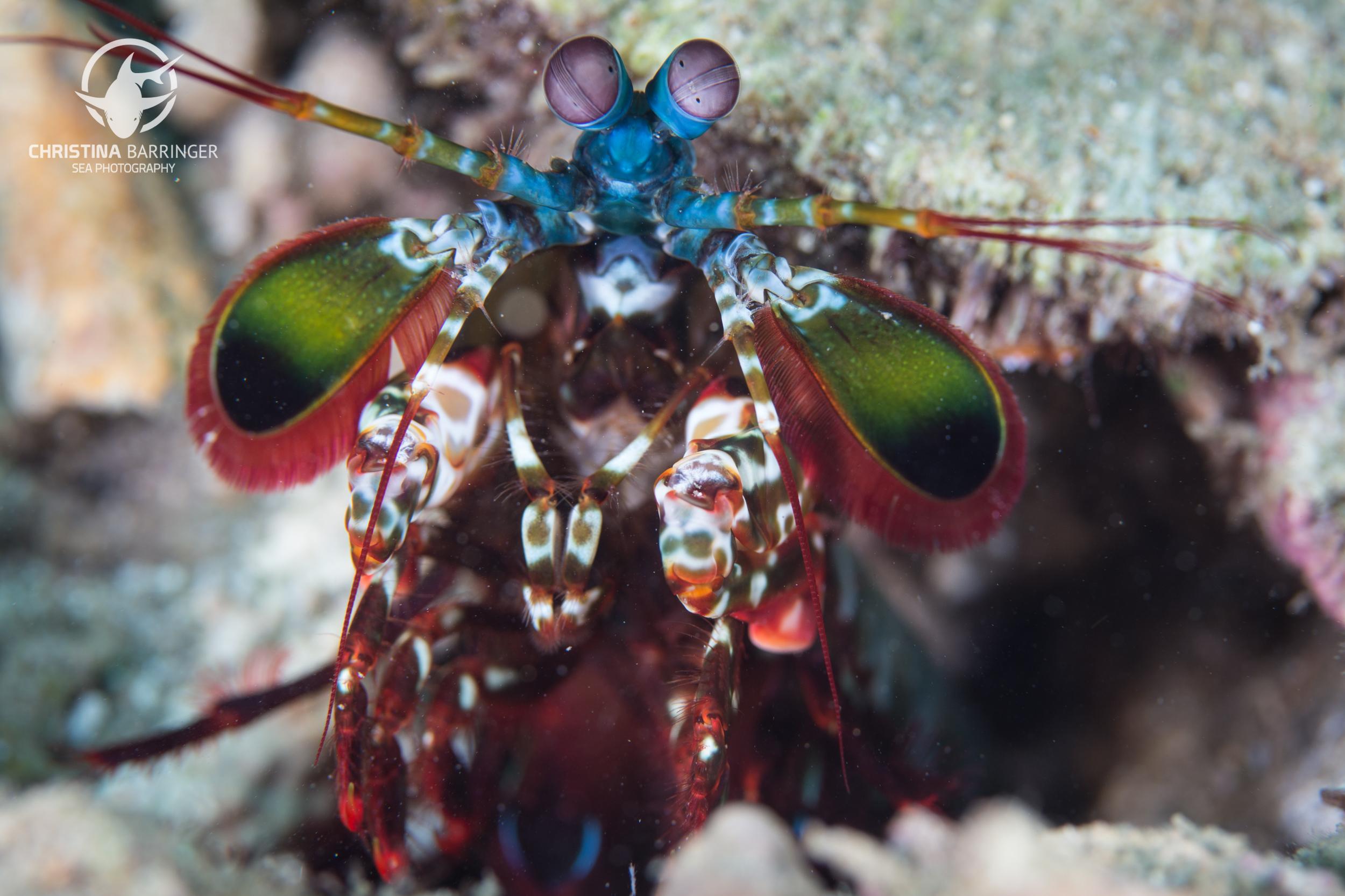 Mantis shrimp; Anilao, Philippines