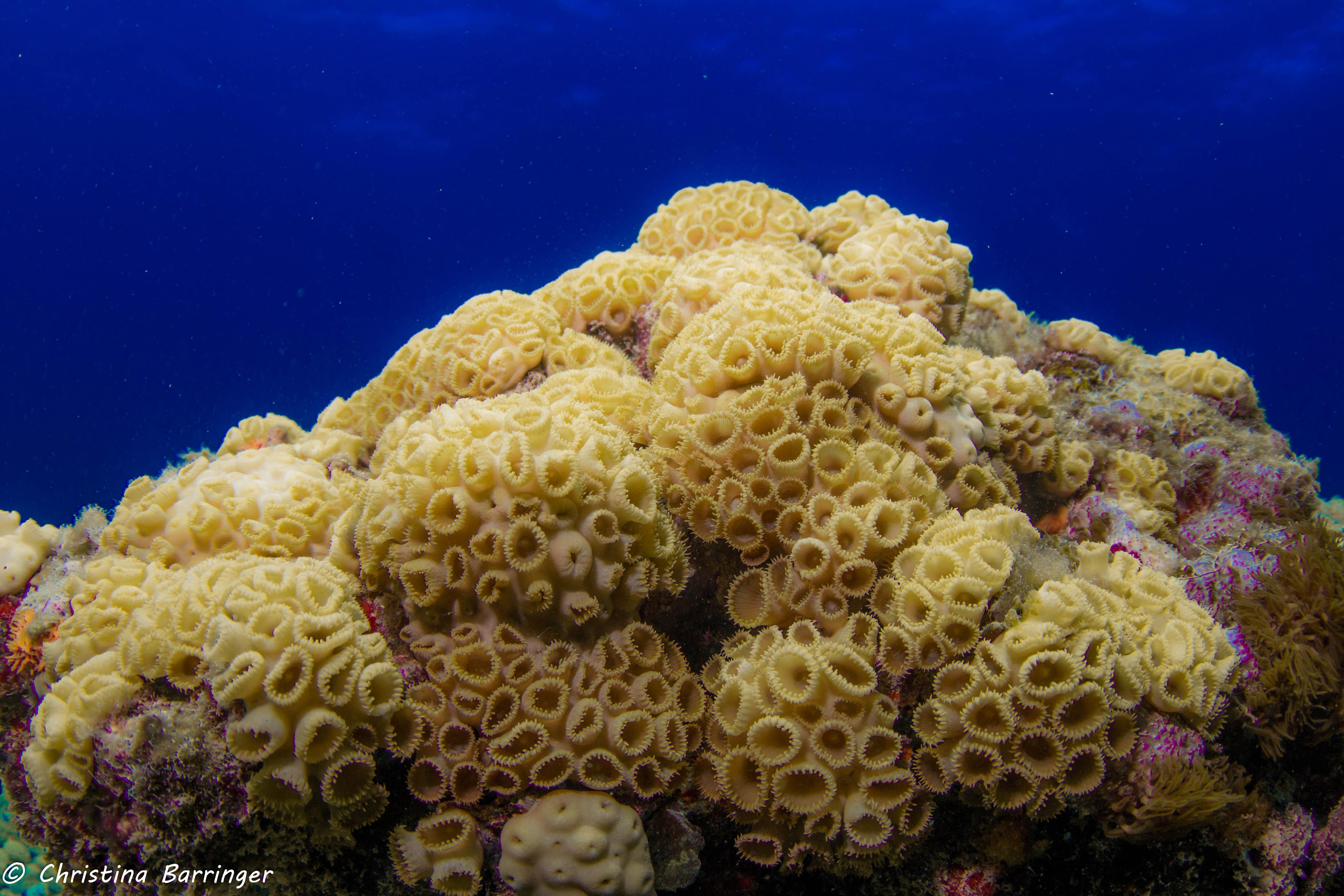 Palythoa Coral