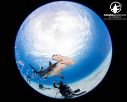 Great Hammerhead and Diver
