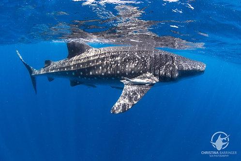 """Whale Shark"" Metal Prints"