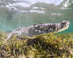 Crocodile, Banco Chinchorro