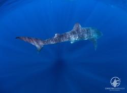 Whale Shark Isla Mujeres