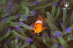 Clownfish; Anilao Philippines