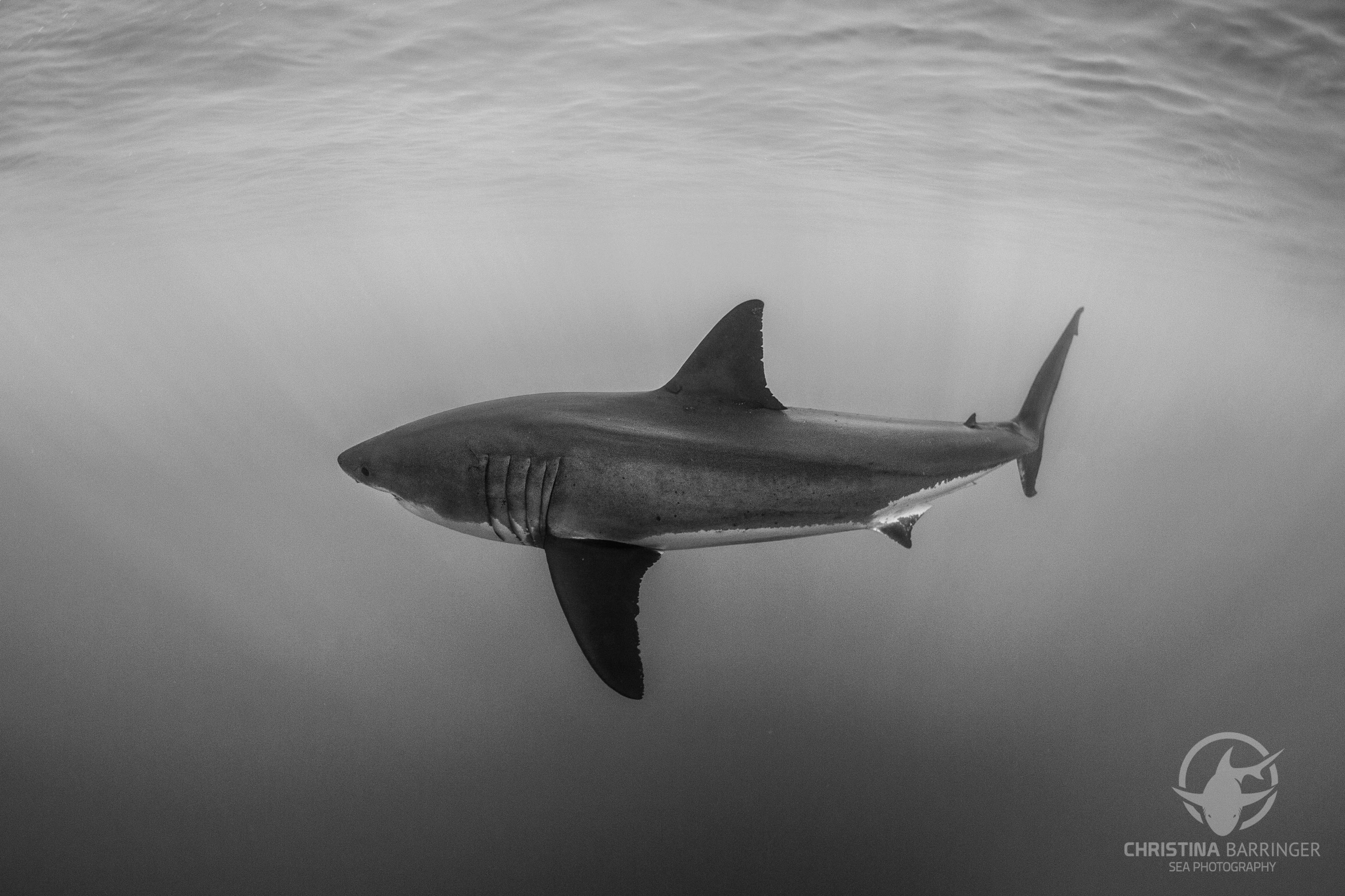 Great White, Guadalupe Island
