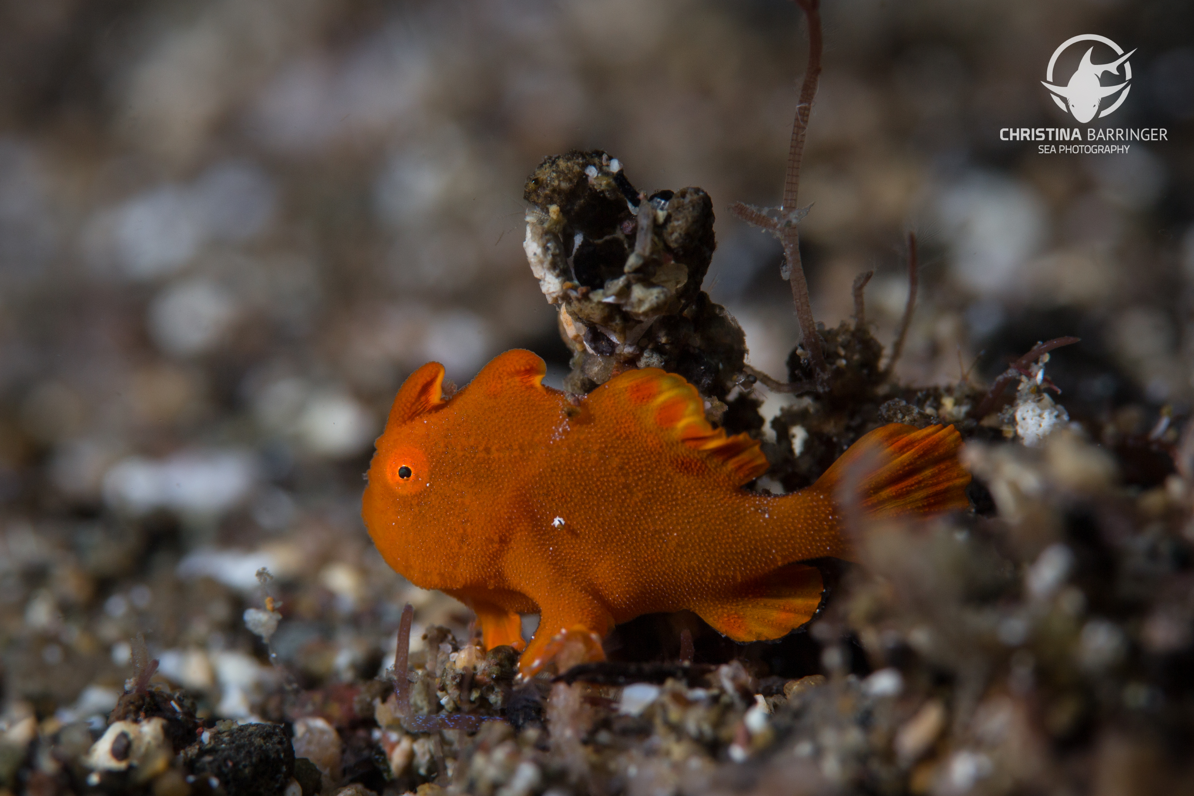 Frogfish; Anilao, Philippines