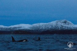 Orcas in the Fjord