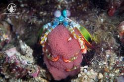 mantis shrimp with eggs;Anilao, Philippi
