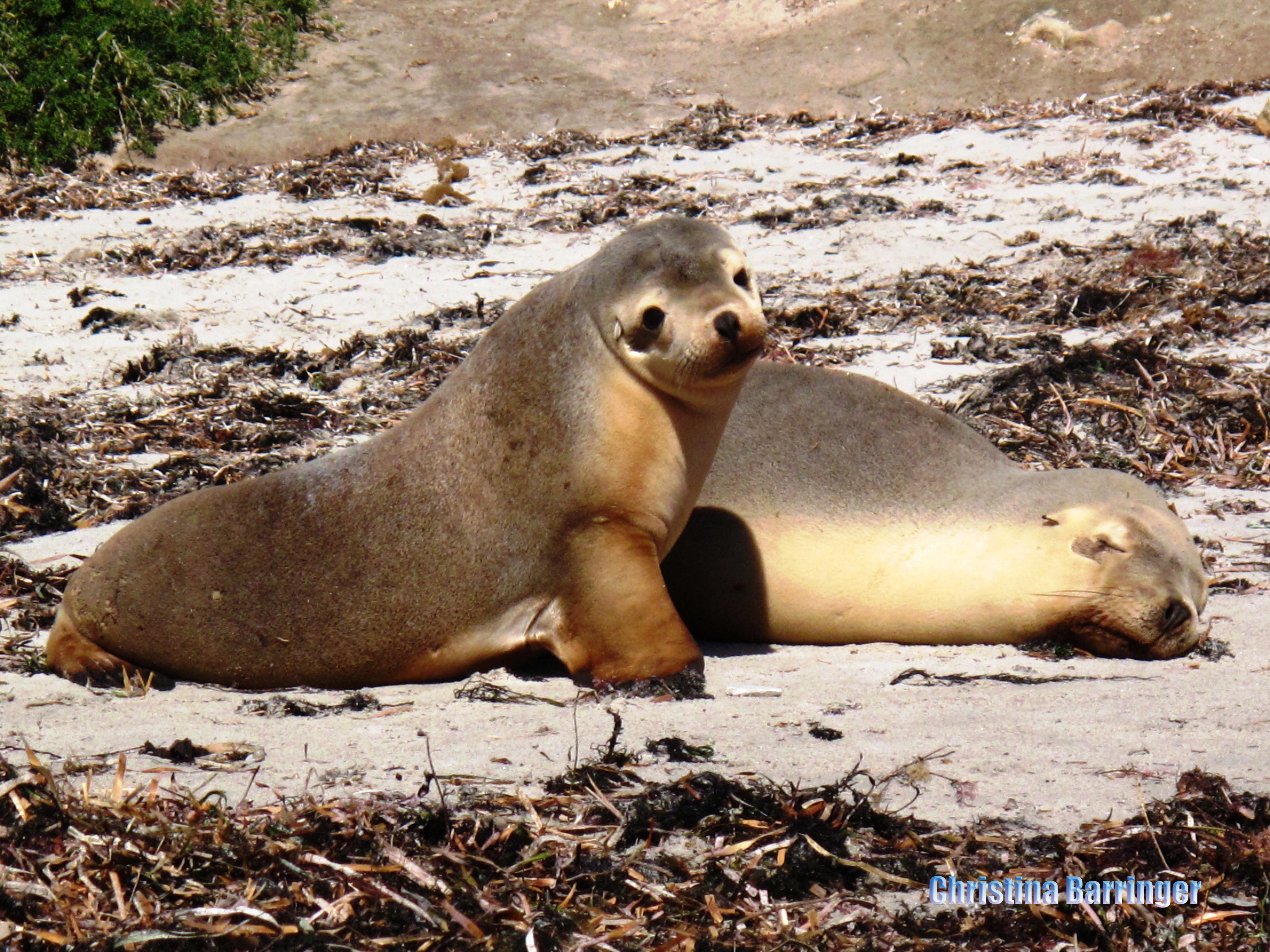 Sea Lions; Hopkins Island, Australia