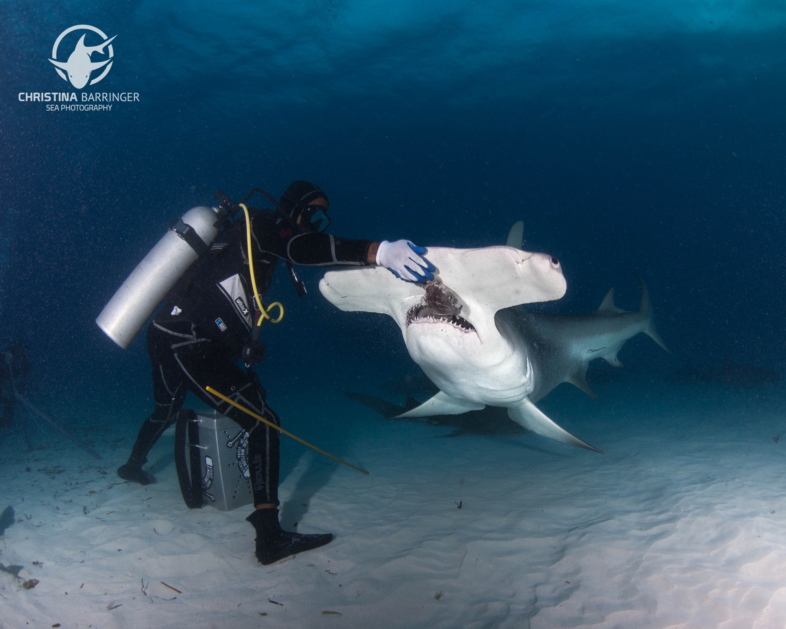 Hammerhead dives in Bimini