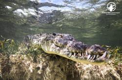 Crocodile Banco Chinchorro