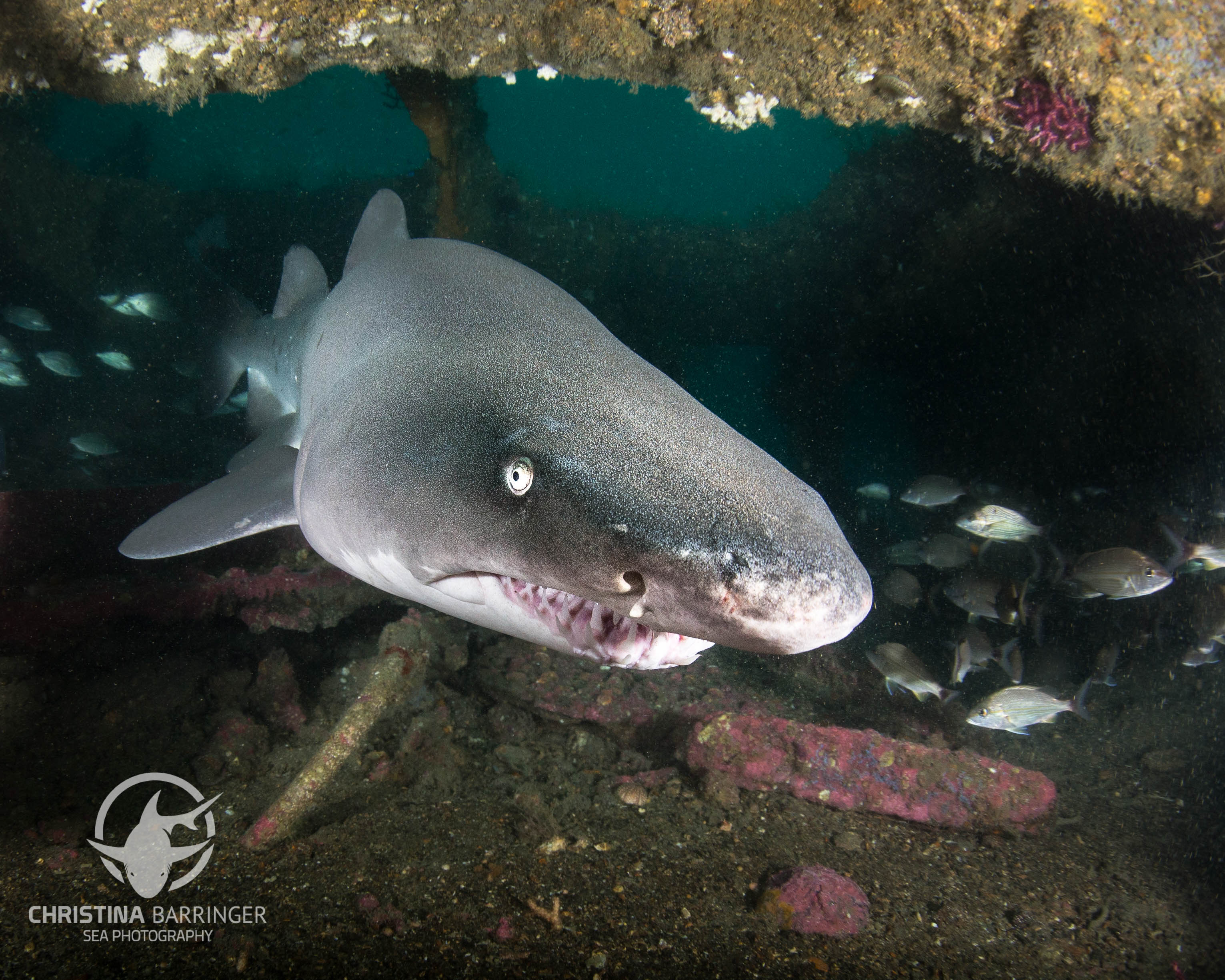 Sand Tiger Shark, NC