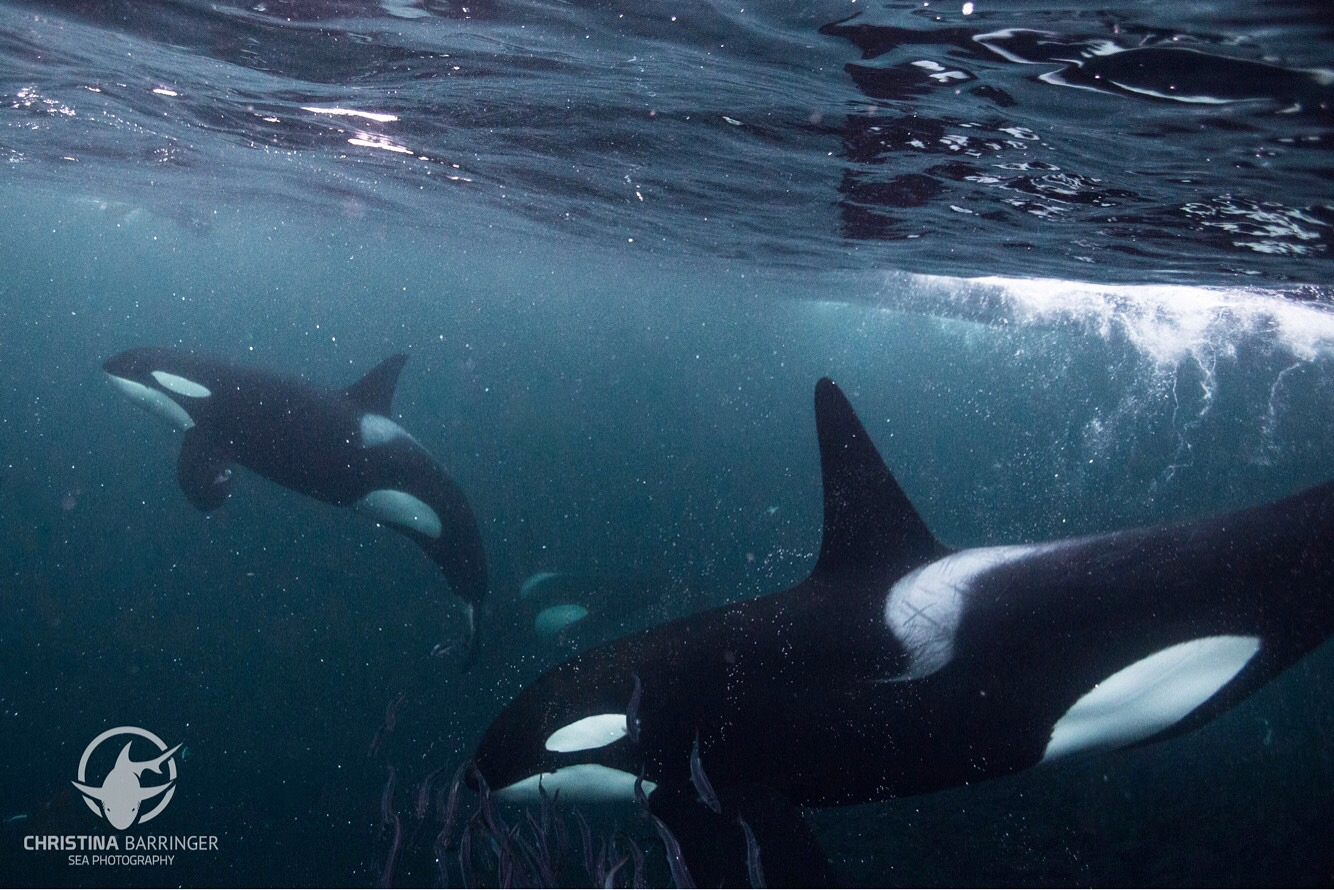 Orcas, Norway