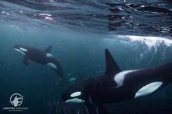 Orcas, Norway