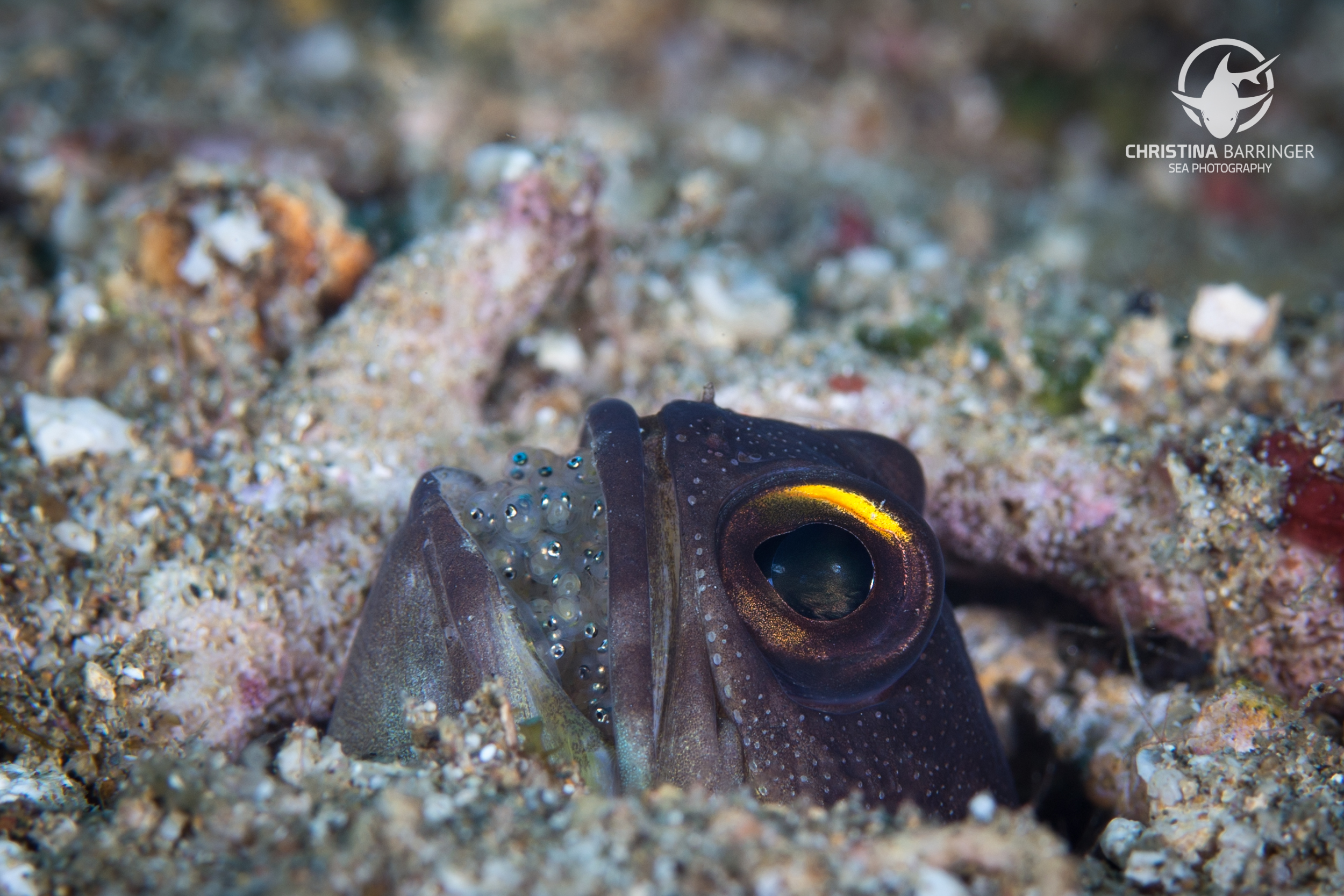 Jawfish brooding;Anilao, Philippines