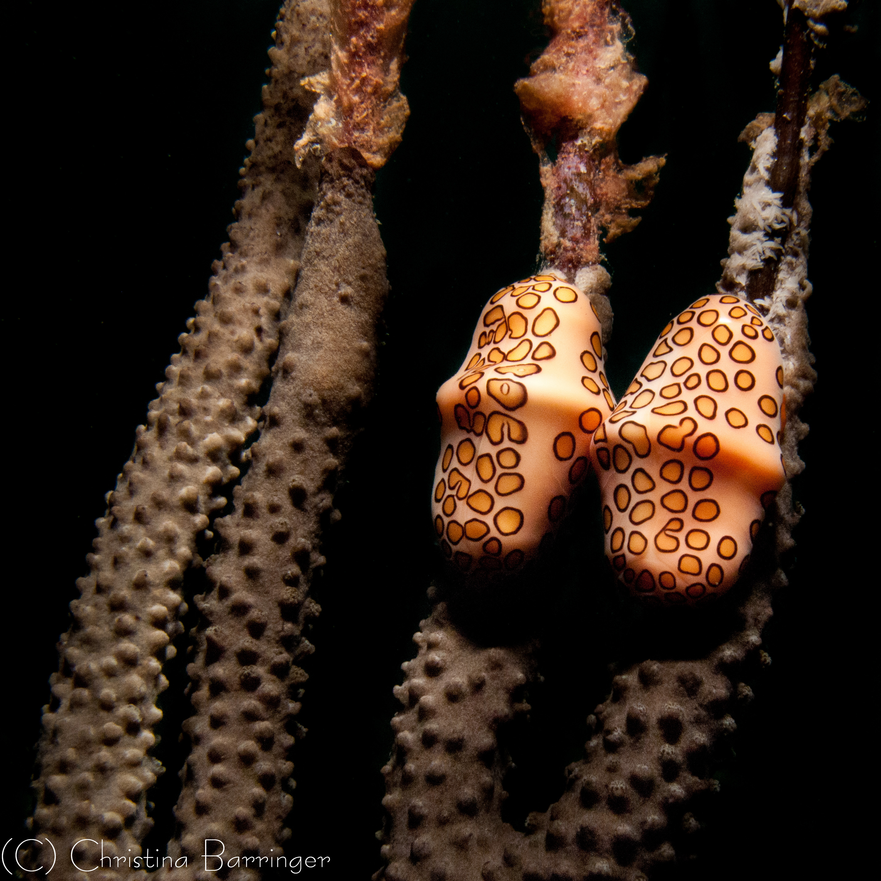 Flamingo Tongue Snails