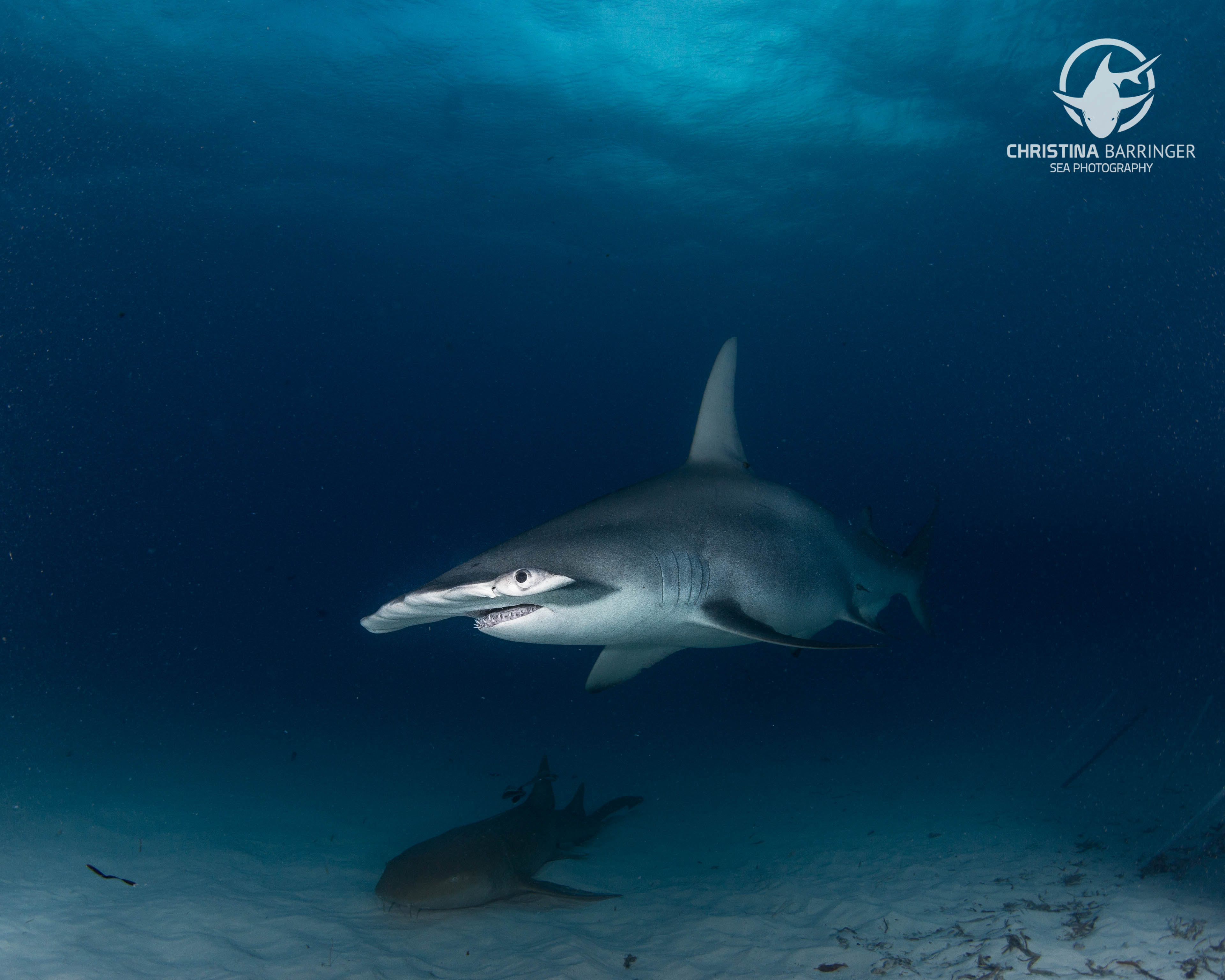 Hammerhead and Nurse Shark