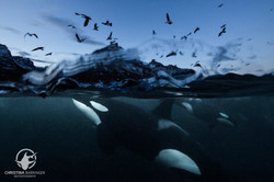 Orcas in Northern Norway