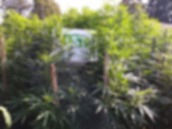 marijuana home growers