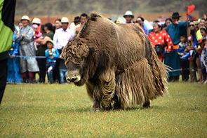 mong yak 3.jpg